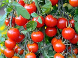 cherry-tomatoes-will-save-you-from-heart-diseases-and-cancer