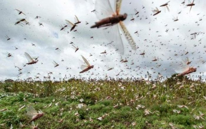 punjab-agriculture-department-launched-grasshopper-campaign-in-punjab
