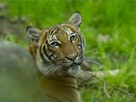 tiger-at-bronx-zoo-tests-positive-for-coronavirus