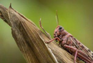 locust-squad-in-tarntaran-punjab