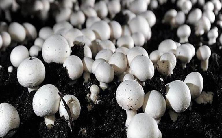 online-mushroom-training-by-pau-ludhiana
