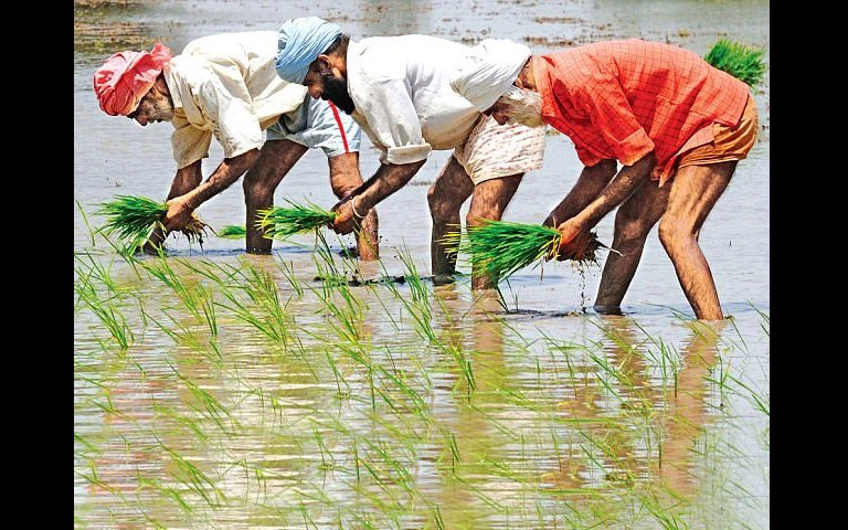 paddy-sowing-methods-will-be-changed-in-punjab