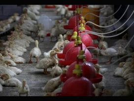Scientist warn about new virus from chickens