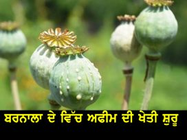 opium-cultivation-in-barnala
